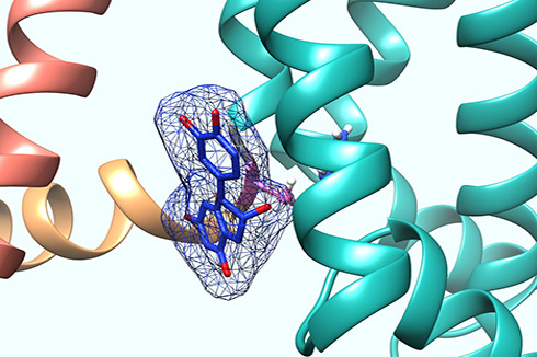 Structural model showing the tea flavonoid epicatechin gallate binding to the base of the voltage sensor of KCNQ5, a type of potassium channel found in human blood vessels